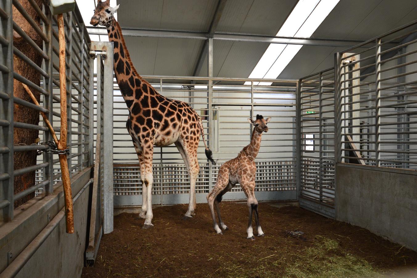 De kersverse giraffe Finn, samen met zijn moeder.