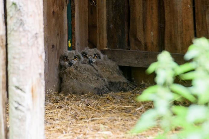 De twee jonge oehoe's in Zoo Veldhoven, die zo'n veertig dagen oud zijn.