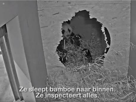 Pandakoorts stijgt in Ouwehands: Wu Wen vaker in kraamhol