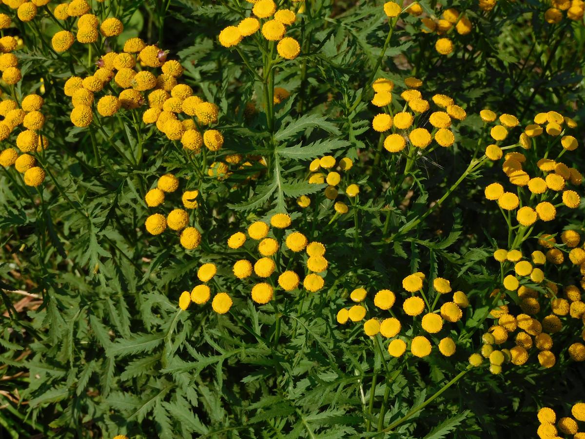 Boerenwormkruid werd tijdens de wintertelling van Floron 223 keer gezien.