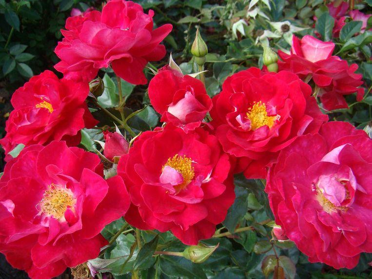 De rode bloemen gaan open en tonen hun meeldraden.