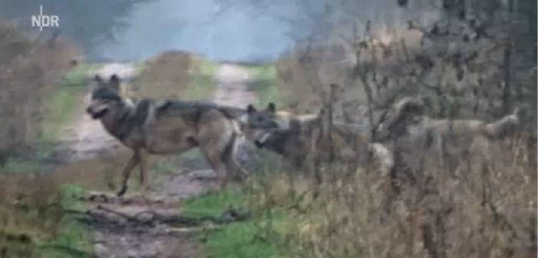 Screenshot van de beelden die door de boswachter zijn gefilmd. Beeld NDR
