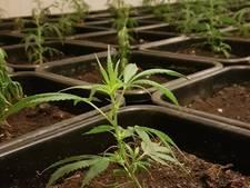 Politie vindt 1000 wietplanten in Ruurlo