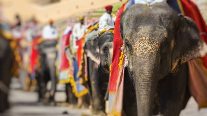 Gevangen en verwaarloosd: dierenactivisten misnoegd over slechte omstandigheden waarin tempelolifanten leven in India