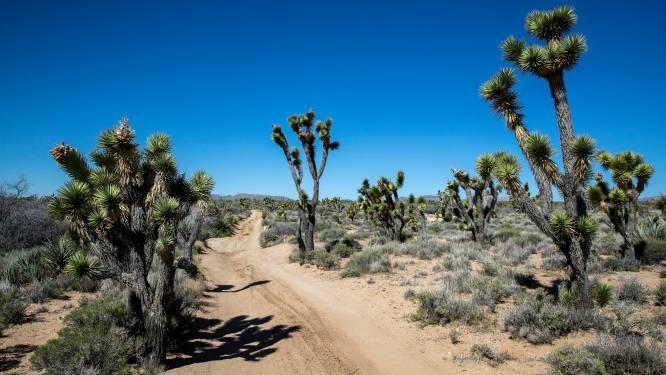 Bosbrand in Californië bedreigt natuurgebied met woestijnschildpadden en Joshua-bomen