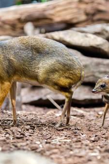 Kleine kantjil geboren in Vogelpark Avifauna