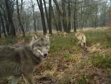 De meeste Nederlanders heten de wolf welkom, maar het draagvlak nam in 2020 wel licht af