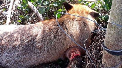 Opnieuw vos aangetroffen in strop met prikkeldraad