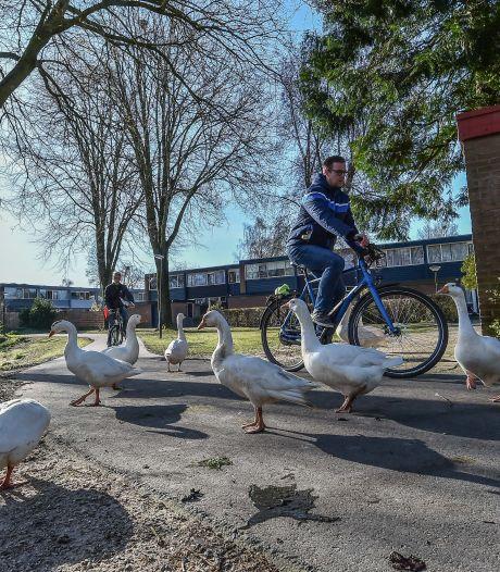 Laatste weken voor groep ganzen aan Schrijnwerkershorst in Apeldoorn