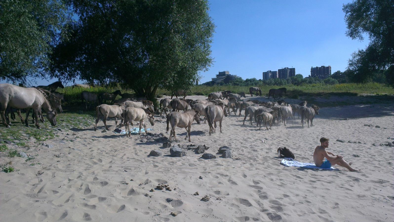 Konikpaarden in de Stadswaard ontmoeten Nijmeegse strandgasten. Foto: Stefan ten Teije/DG
