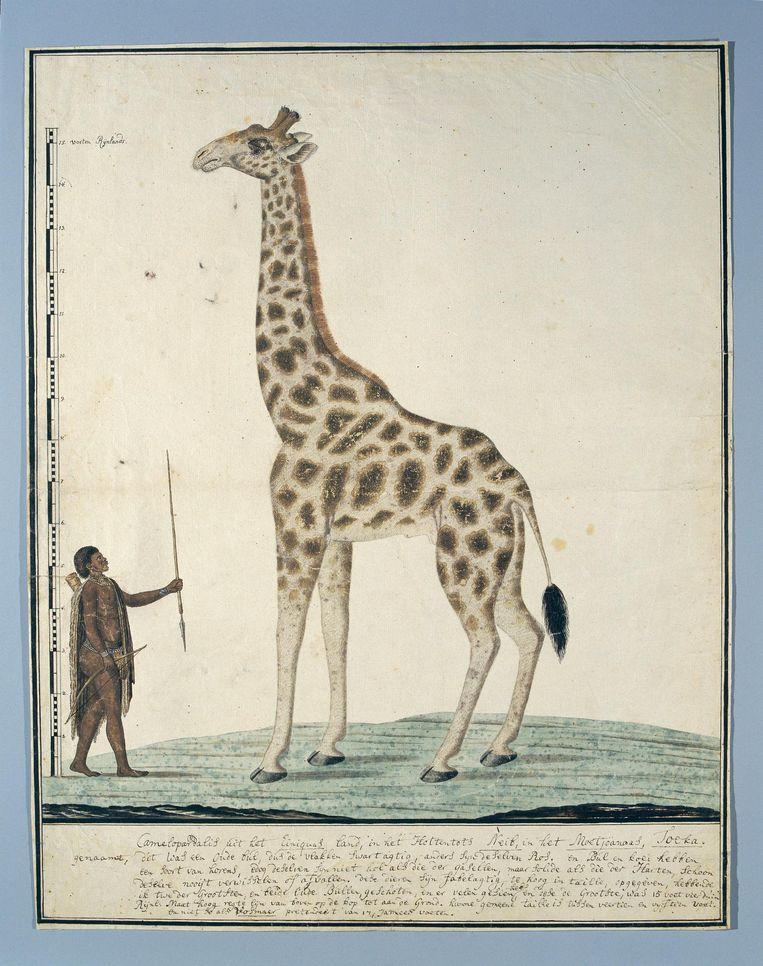 Robert Jacob Gordon, Een giraffe met een Khoi, 1779. Beeld Rijksmuseum