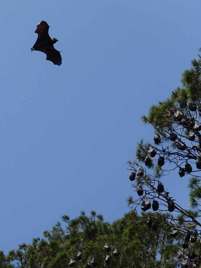 Bomen vol vleermuizen in Adelaide en Cairns.