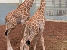 Giraffenbroertjes Jacques en Max geboren in de Beekse Bergen