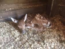 Bedenk een naam voor pasgeboren hertje in Hoeven