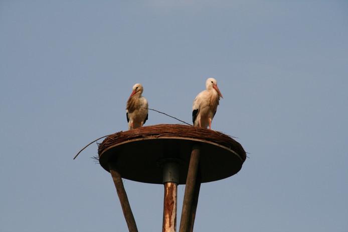 De Oijense ooievaars op het nest