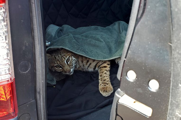 De vrouw had een handdoek over de rode lynx gelegd.