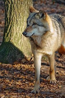 Jagers zijn overtuigd: wolf gezien bij Zwillbrock