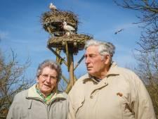 'Vooral oudere ooievaars overwinteren in Nederland'