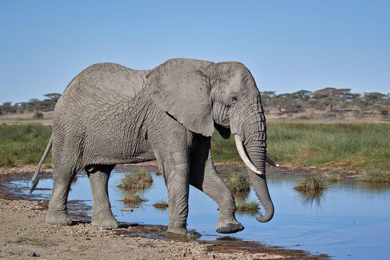 Afrikaanse olifant.