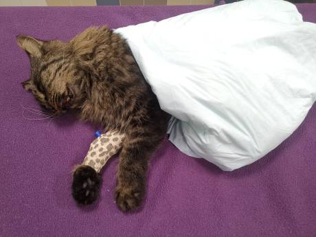 Kater Sjef (3) ingeslapen, nadat het dier waarschijnlijk door vuurwerk zwaargewond raakte