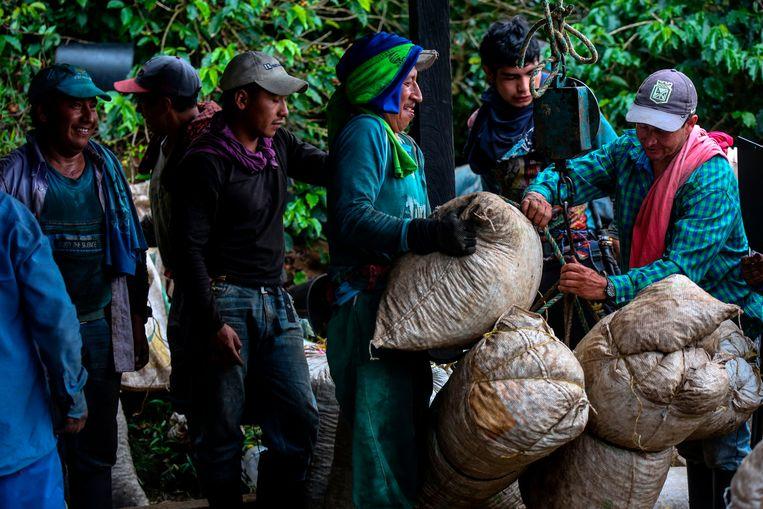 Koffieplukkers wegen zakken met koffiebonen op een plantage in Colombia. Beeld AFP