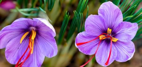 De stampers van deze bloem zijn kostbaarder dan goud