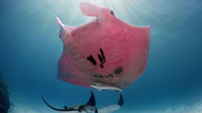 Fotograaf legt unieke roze reuzenmanta vast op camera