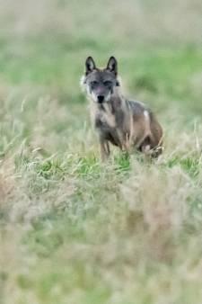 Is troetelwolf Billy afgeknald in Frankrijk? Kan bijna niet missen