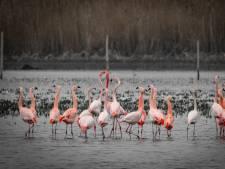 Flamingokolonie terug in natuurgebied tussen Groenlo en Vreden