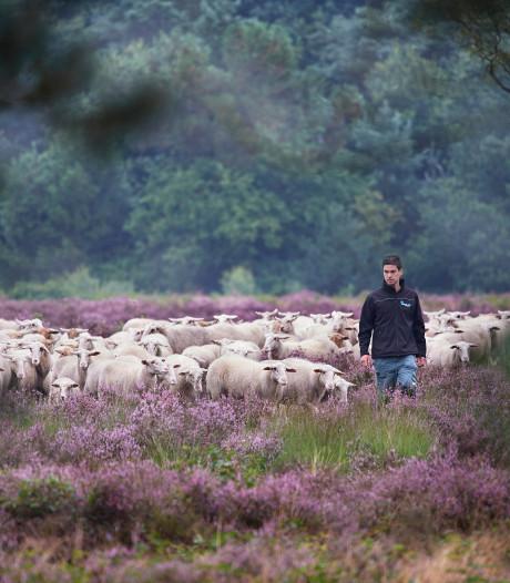 Ossenaar (70) in de kreukels door kudde schapen