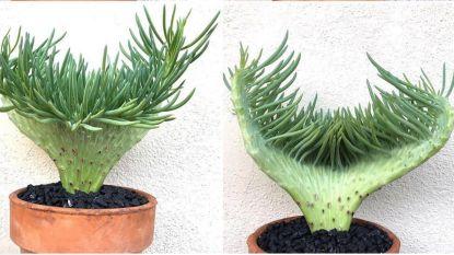 Deze feeërieke vetplant verovert nu alle harten online