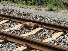 Dode vos gevonden op spoor MerwedeLingelijn
