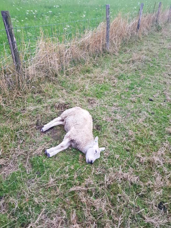 Eén van de vijf dode schapen