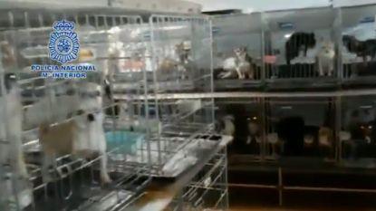Zelfs stembanden doorgesneden zodat ze niet zouden blaffen: bijna 300 honden gered uit illegale Spaanse fokkerijen