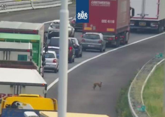 Loslopende honden op de A16 bij Moerdijk.