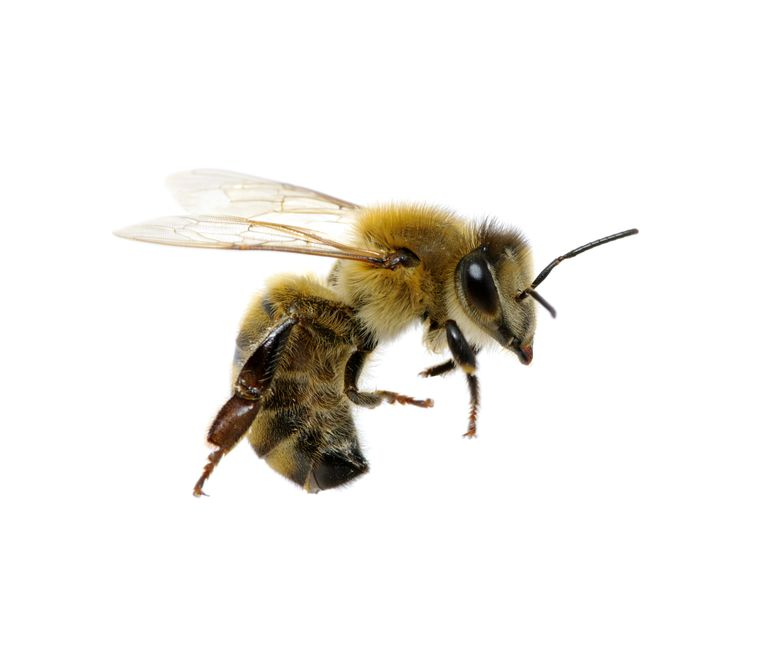bee isolated on the white insecten tellen Beeld