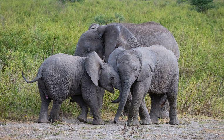 De olifant behouden in de meeste Afrikaanse landen het hoogste beschermingsniveau.