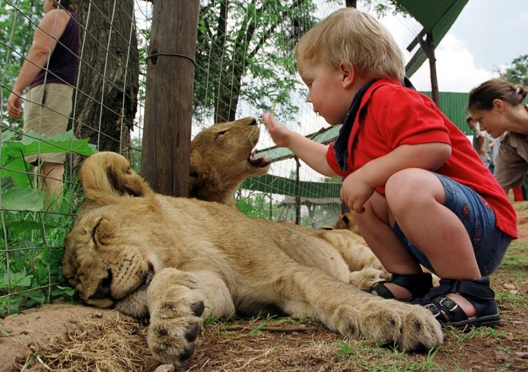 Een peuter op bezoek in een leeuwenpark nabij Johannesburg, Zuid-Afrika. Beeld ANP