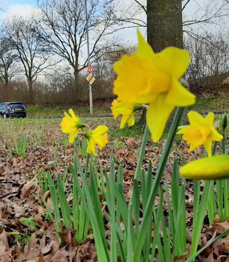 Half januari en het lijkt al lente op de 'bollenvelden' in Wageningen