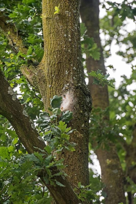 Hoog in de eiken naast het schoolplein zitten de nesten processierupsen.  Foto Bert Beelen