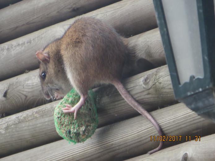 Ratten komen onder ander af op vogelvoer.