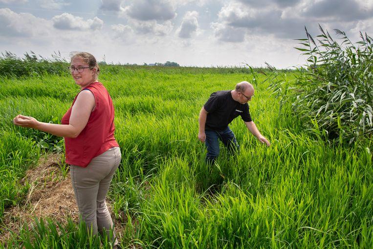 Johan de Dood en zijn vrouw Yfke op een rib tussen twee rietvelden. Ze zoeken naar meer sporen van een otter, nadat Yfke drollen van een otter heeft gevonden.  Beeld Herman Engbers