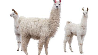 Lama's leiden naar medicijn tegen spierziekte