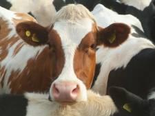 Koeien op het spoor bij De Lutte, treinen rijden stapvoets