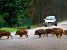 Afschot wilde zwijnen op Veluwe ligt op schema