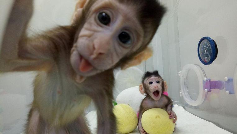 Zhong Zhong en Hua Hua zijn nieuwsgierige aapjes Beeld reuters