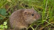 Ook muizen bedriegen hun vrouwtjes als ze alcohol drinken... maar niet als de vrouwtjes ook drinken