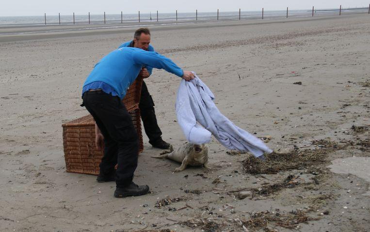Een team van Sea Life Blankenberge haalde het zieke dier op