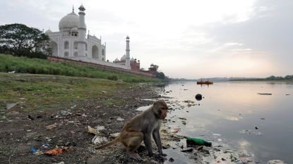 Apen sterven door zonnesteek in heet India: meer dan 50 graden