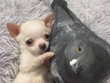 L'amitié entre un chiot handicapé et un pigeon qui ne peut plus voler va vous faire fondre